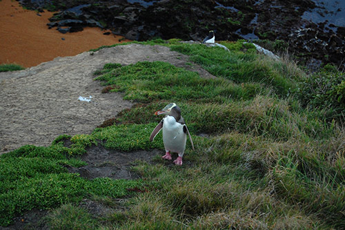 Yellow-eyed Penguins at Katiki Point. Photo: unkle_sam