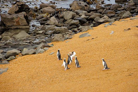 Yellow-eyed Penguins at Katiki Point