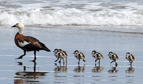 Paradise Shelduck with chicks