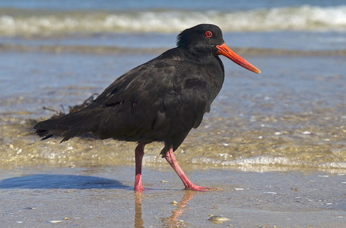 Variable Oystercatcher - New Zealand